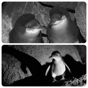 Eco Centre Little Penguins